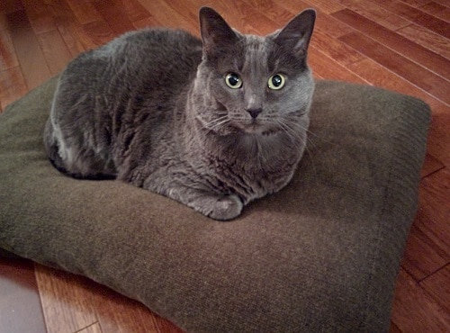 Gray cat lying on a pillow covered in a sweater.