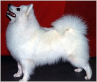 The American Eskimo Dog Breed