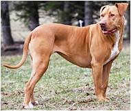 The American Pit Bull Terrier Dog Breed