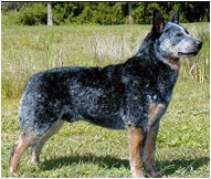 The Australian Cattle Dog Breed