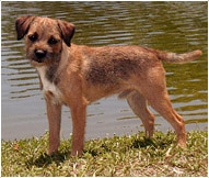 The Border Terrier Dog Breed