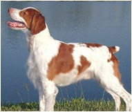 The Brittany Dog Breed