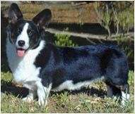 The Cardigan Welsh Corgi Dog Breed