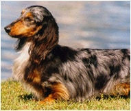 The Dachshund Dog Breed