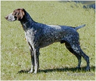 The German Shorthaired Pointer Dog Breed