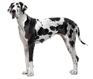 The Great Dane Dog Breed