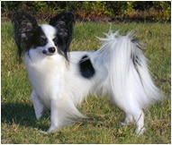 The Papillon Dog Breed