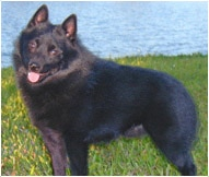 The Schipperke Dog Breed