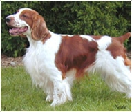 The Welsh Springer Spaniel Dog Breed