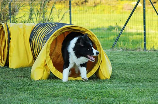 A border collie in a yellow dog agility tunnel.