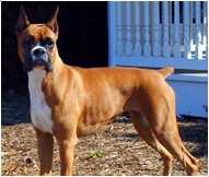 The Boxer Dog Breed