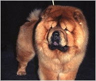 The Chow Chow Dog Breed